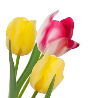 Composizione del tulipano su fondo bianco.