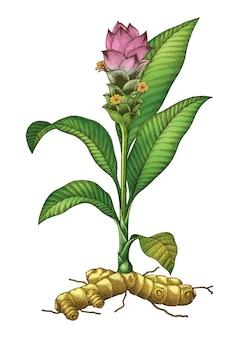 Illustrazione botanica di tumeric dell'incisione del disegno della mano