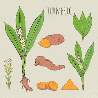 Illustrazione isolata botanica medica della curcuma. pianta, radice sezionata, foglie, spezie insieme disegnato a mano.