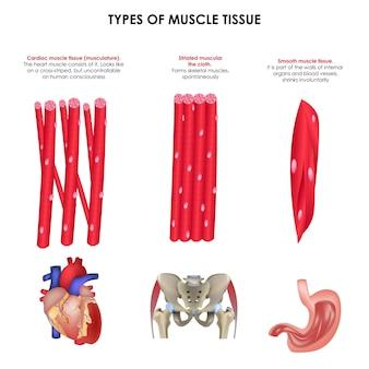 Tipi di tessuto muscolare illustrazione medica realistica