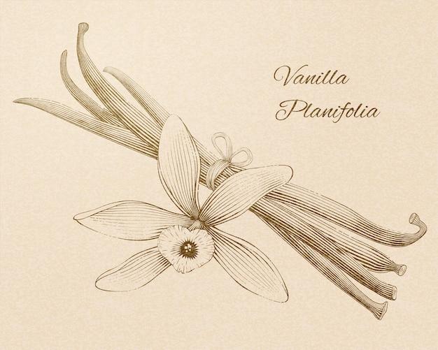 Vanilla planifolia in stile retrò inciso su sfondo beige