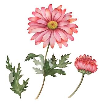 Crisantemo di vettore disegnato a mano floreale illustrazione fiori autunnali isolati su uno sfondo bianco Vettore Premium