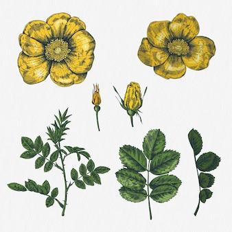 Accumulazione di vettore delle rose disegnate a mano