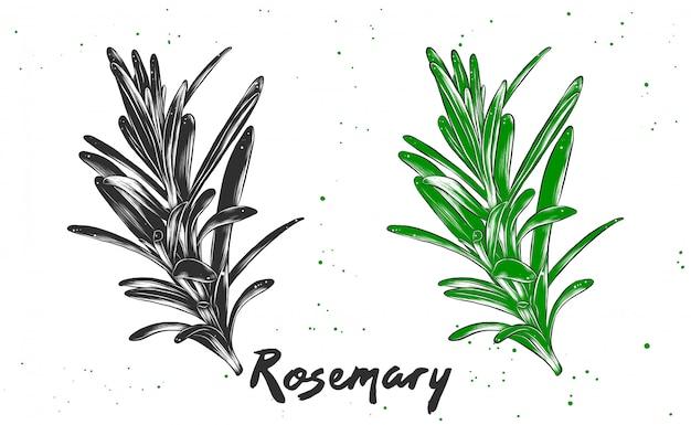 Illustrazione di stile inciso vettoriale di rosmarino