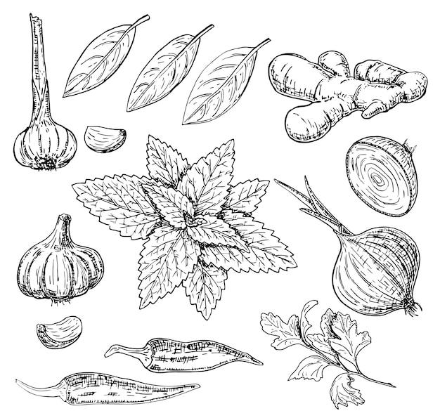 Set di erbe e spezie culinarie disegnati a mano di vettore