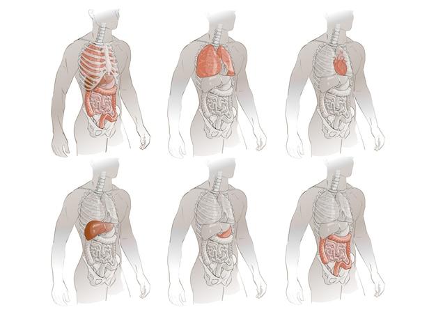 Vector anatomia del corpo umano