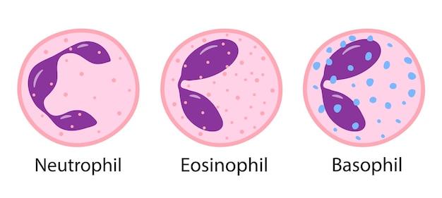 Illustrazione vettoriale di monociti linfociti eosinofili neutrofili basofili globuli bianchi