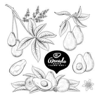 Insieme decorativo di avocado di schizzo di vettore. illustrazioni botaniche disegnate a mano.