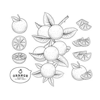 Insieme decorativo degli agrumi di schizzo di vettore. arancia. illustrazioni botaniche disegnate a mano.