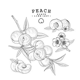Insieme decorativo di pesca schizzo vettoriale. illustrazioni botaniche disegnate a mano.