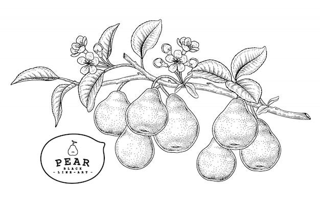 Insieme decorativo della pera di schizzo di vettore. illustrazioni botaniche disegnate a mano.