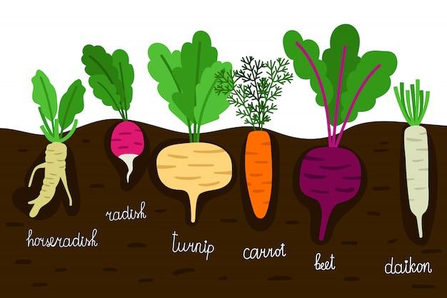 Orticoltura. giardinaggio di verdure con le radici nell'illustrazione al suolo