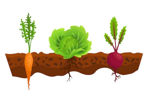 Orticoltura nel terreno. una linea di cavoli, barbabietole, carote. piante che mostrano la struttura della radice sotto il livello del suolo. alimenti biologici e sani. banner di orto. poster con verdure di radice