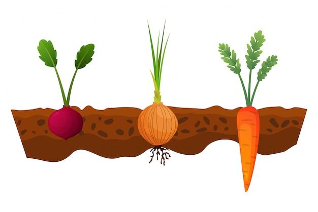 Orticoltura nel terreno. una linea di cipolla, carota. piante che mostrano la struttura della radice sotto il livello del suolo. alimenti biologici e sani. banner di orto. poster con verdure di radice