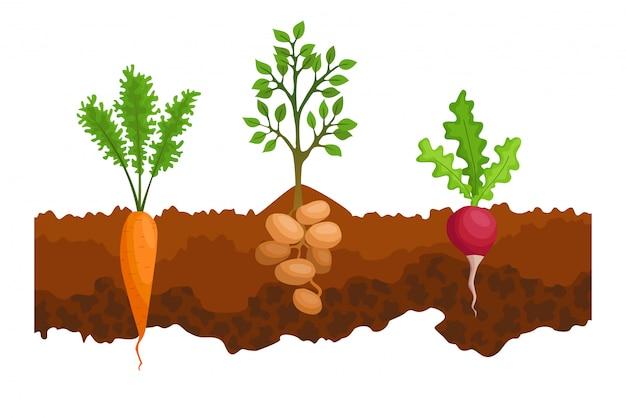 Verdure che crescono nel terreno. una linea di barbabietola da zucchero, radishe, patate