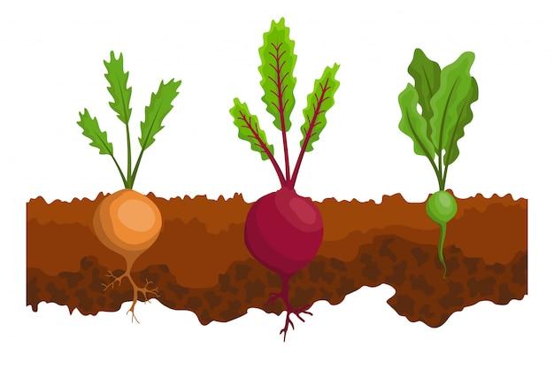 Verdure che crescono nel terreno. una linea rapa, barbabietola. piante che mostrano la struttura della radice sotto il livello del suolo. cibo biologico e sano. banner di orto