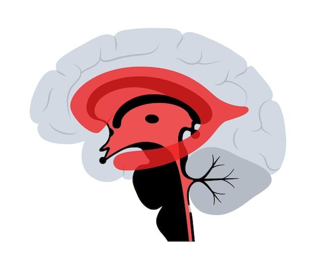 Anatomia del sistema ventricolare. ventricoli cerebrali, fluidi cerebrospinali nel vettore cerebrale