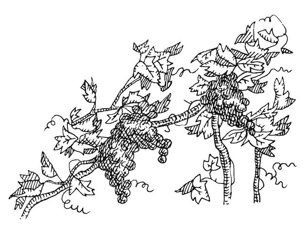 Uva della vite con bacche e foglie vettore vintage da cova monocromatico grigio