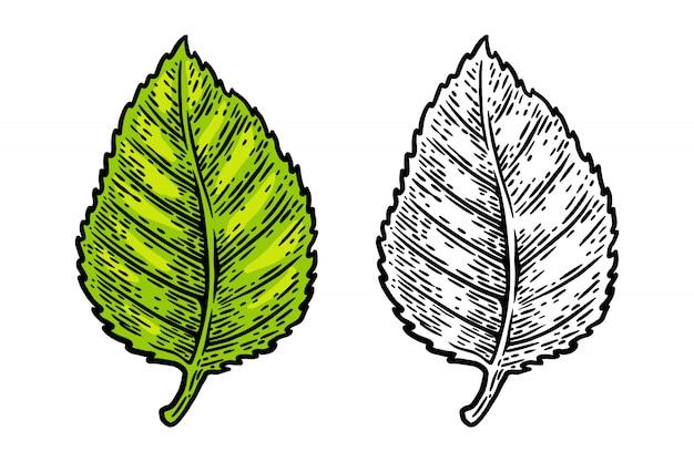 Elemento di progettazione dell'illustrazione di vettore isolato foglia d'annata retro della betulla.