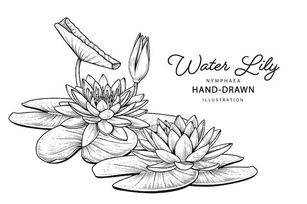 Illustrazioni botaniche disegnate a mano del fiore del giglio di acqua.