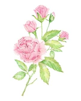 Acquerello bellissimo bouquet di rose rosa inglese isolato