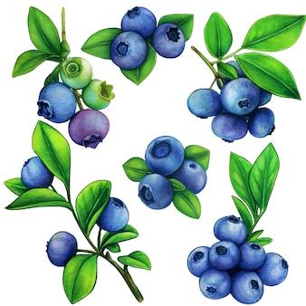 Illustrazione botanica degli elementi del mirtillo dell'acquerello