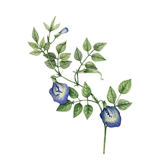 Fiori botanici dell'acquerello di olitoria ternatea su bianco. Vettore Premium