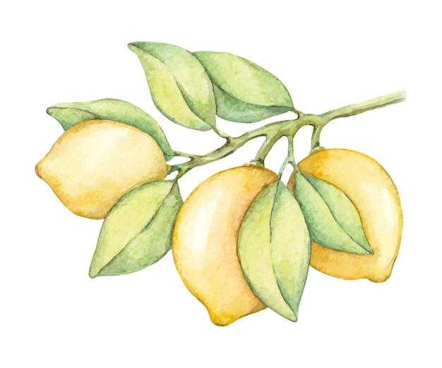 Ramo dell'acquerello con limoni e foglie verdi
