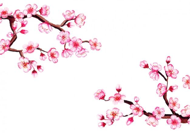 Cornice floreale dell'acquerello di sakura. fiore di ciliegia della primavera, isolato su bianco