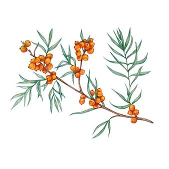 Illustrazione dell'acquerello di un ramo dell'olivello spinoso