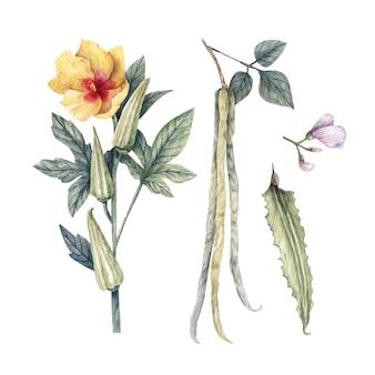Illustrazione dell'acquerello del gombo commestibile delle piante sane, del fagiolo alato e dell'ibisco esculentus.