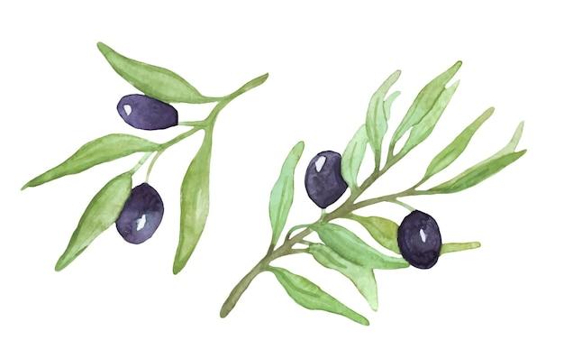 Rametti di ulivo acquerello rami di ulivo con frutti