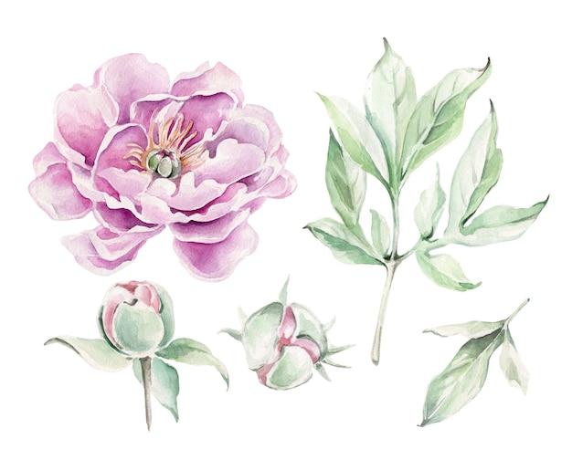 Fiore di peonia dell'acquerello, foglie, germoglio