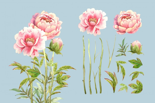 Set di fiori di peonia rosa dell'acquerello