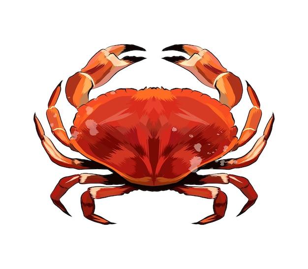 Acquerello granchio rosso su bianco