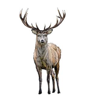 Acquerello cervo rosso su bianco