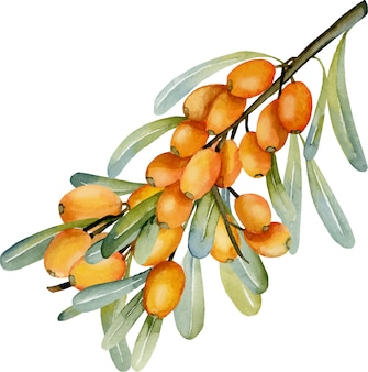 Illustrazione del ramo di olivello spinoso dell'acquerello