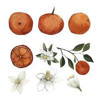 Insieme dell'acquerello di fiori e foglie d'arancio