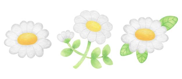 Fiore margherita bianca dell'acquerello in un unico pezzo isolato e foglie verdi