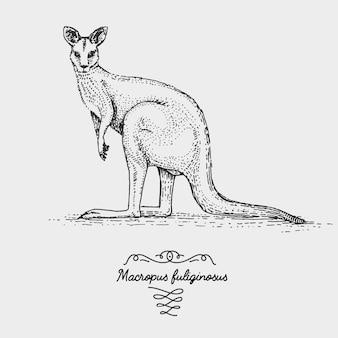 Il canguro grigio occidentale inciso, illustrazione disegnata a mano in stile scratchboard xilografia, specie di disegno vintage.
