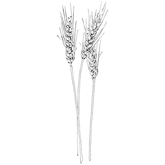 Disegni a mano di spighe di grano. simbolo dell'illustrazione dell'annata di incisione di protezione e sicurezza. antica illustrazione di incisione d'epoca