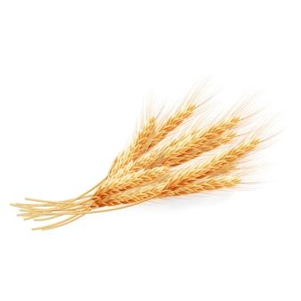 Orecchie del grano isolate su fondo bianco, illustrazione agricola.