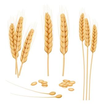 Grano realistico. raccolta dorata del grano del grano dell'alimento biologico sano di agricoltura