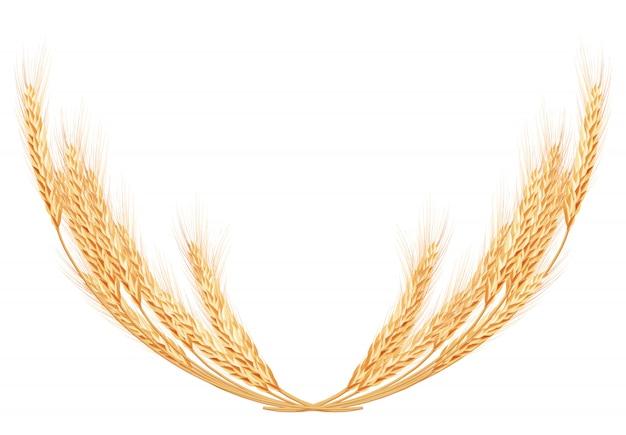 Spighe di grano sul modello bianco. Vettore Premium