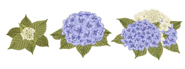 Illustrazione botanica disegnata a mano del fiore dell'ortensia bianca e blu