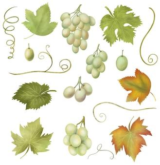 Illustrazione isolata disegnata a mano di clipart delle foglie dell'uva e dell'uva bianca su fondo bianco