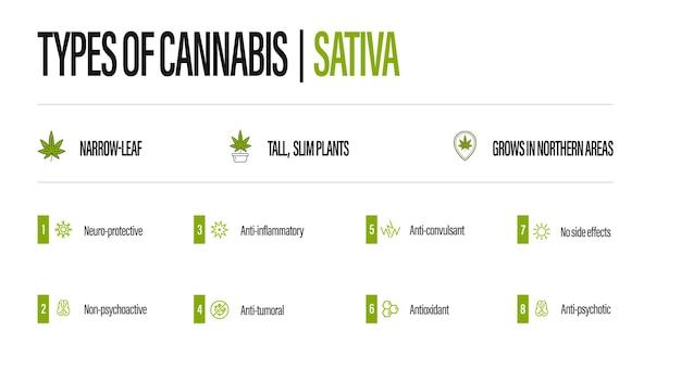 Poster informativo bianco dei tipi di cannabis con infografica. sativa