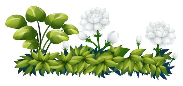 Fiori di gelsomino bianco nel cespuglio