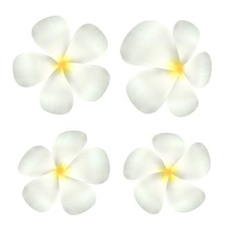 Vettore di fiore bianco plumeria