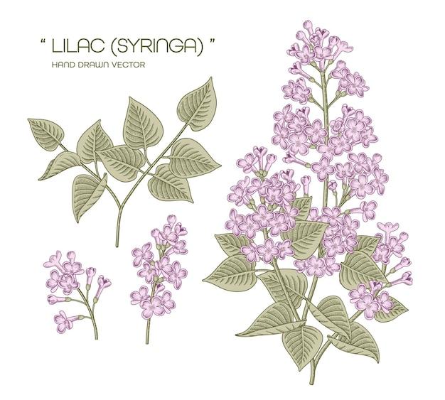 Bianco e viola syringa vulgaris (lilla comune) fiore illustrazioni botaniche disegnate a mano.